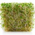 I germogli costituiscono un ottimo alimento ricco di vitalità e di sostanze nutrienti. Tuttavia alcune sementi sono più interessanti di altre per il valore nutritivo e la facilità con cui […]